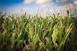 Corn-Green.jpg